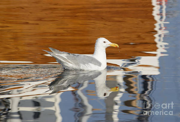 Wall Art - Photograph - Glaucous-winged Gull by Marv Vandehey