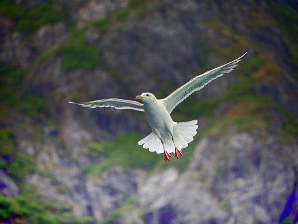 Photograph - Glaucous-winged Gull by Paul Ross
