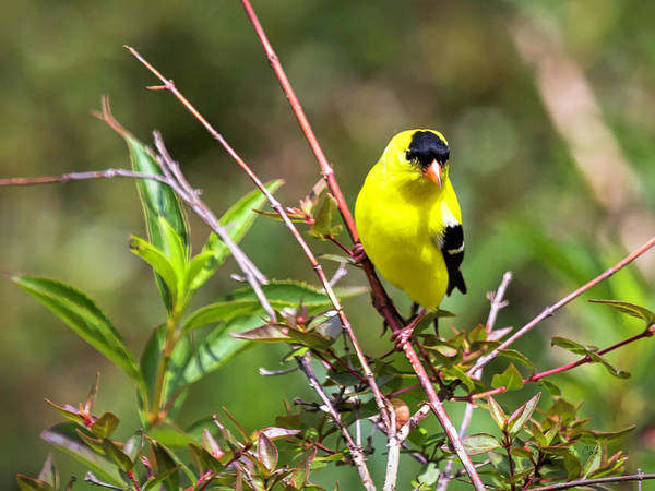 Photograph - Gleaming Goldfinch by Bellesouth Studio