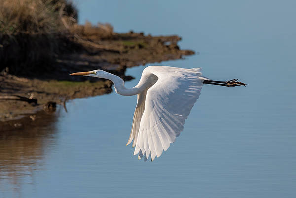 Photograph - Gliding Egret by Loree Johnson