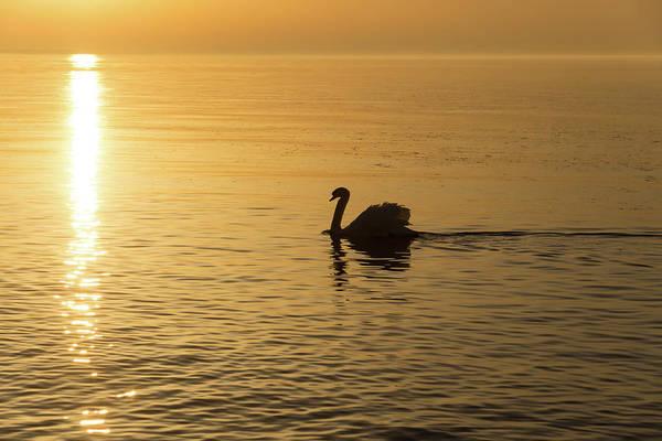 Photograph - Gliding On Silky Gold - The Swan And The Sunpath by Georgia Mizuleva