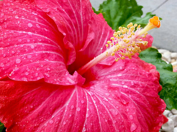 Photograph - Glistening Fuchsia Hibiscus by Adam Johnson