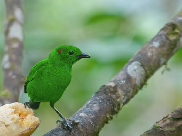 Photograph - Glistening Green Tanager by Cascade Colors