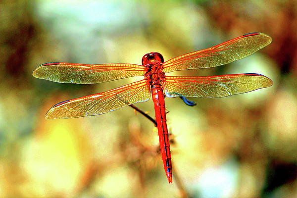 Photograph - Glistening Red Dragonfly by Cynthia Guinn