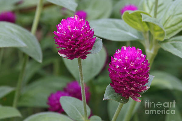 Photograph - Globe Amaranth by Charles Kozierok