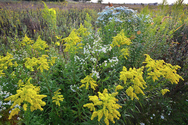 Photograph - Globs Of Goldenrod At Kishwaukee Headwaters by Ray Mathis