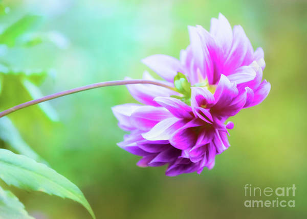 Photograph - Glorious Autumn Dahlia by Anita Pollak