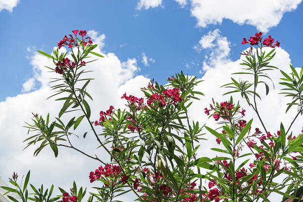 Photograph - Glorious Fragrant Oleanders Reaching For The Sky by Georgia Mizuleva