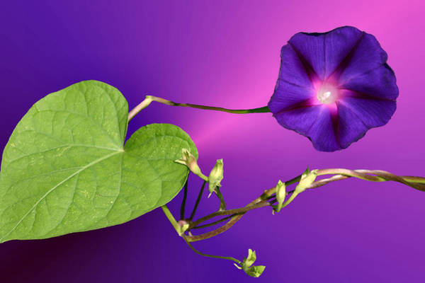 Convolvulaceae Wall Art - Photograph - Glorious by Kristin Elmquist