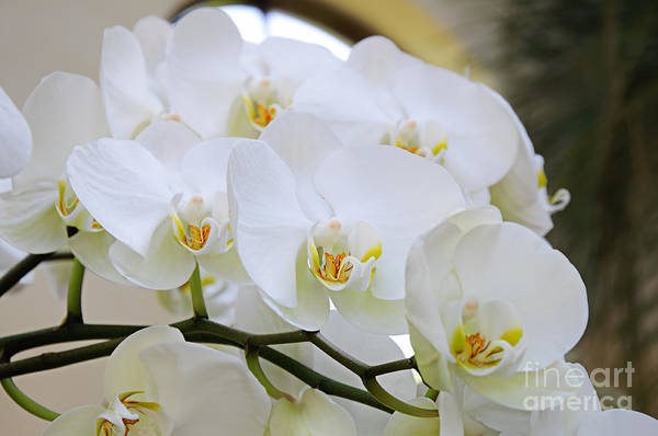 Photograph - Glorious Orchid Cascade by Andee Design
