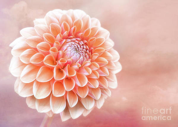 Photograph - Glorious Salmon Dahlia by Anita Pollak