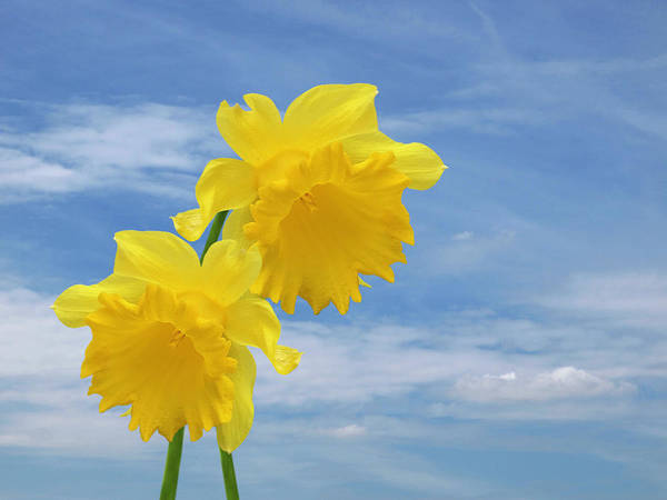 Photograph - Glorious Spring Daffodils With Blue Sky by Gill Billington