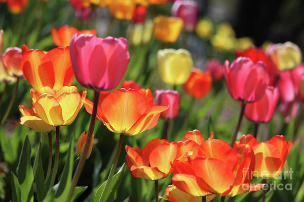 Photograph - Glorious Tulips by Carol Groenen