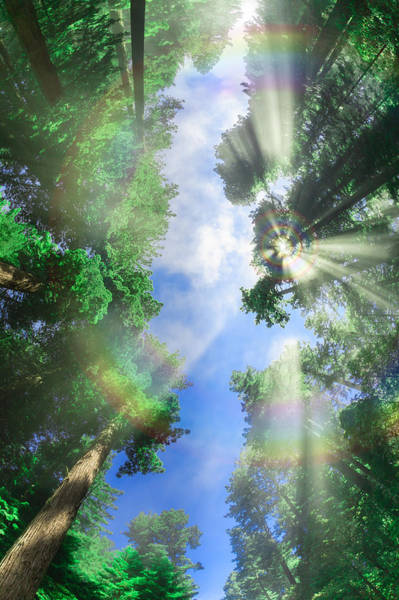 Photograph - Glory Amongst Redwoods by Scott Campbell