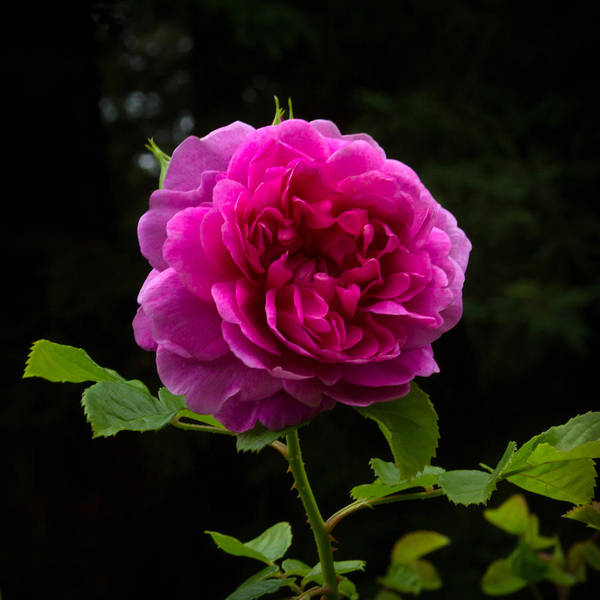 Photograph - Glory Of The Wild Blue Yonder Rose by Bonnie Follett