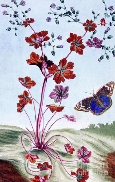 Glossy Wall Art - Painting - Glossy Cranesbill by Pierre-Joseph Buchoz