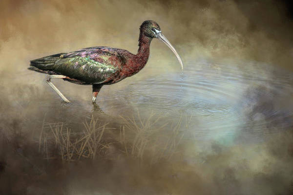 Glossy Wall Art - Photograph - Glossy Ibis by Donna Kennedy