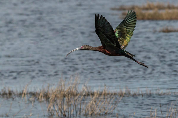 Photograph - Glossy Ibis Flight #1 by Patti Deters