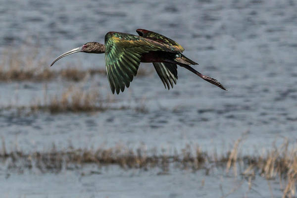 Photograph - Glossy Ibis Flight #2 by Patti Deters