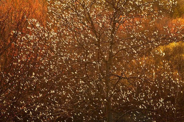 Wall Art - Photograph - Glowing Catkins #2 by Irwin Barrett