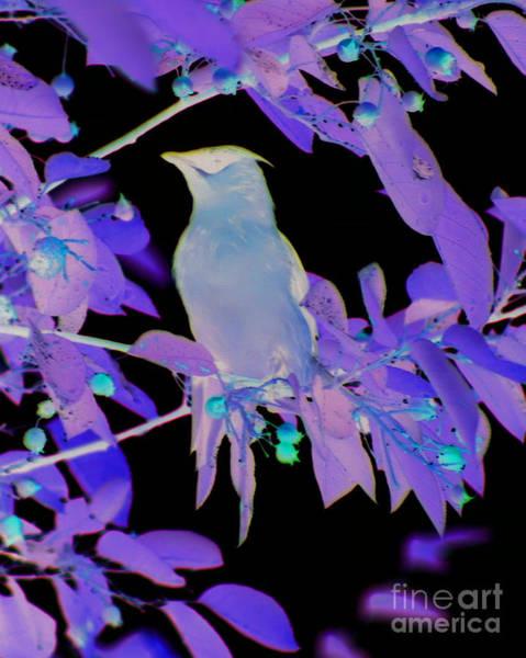 Waxwing Digital Art - Glowing Cedar Waxwing by Smilin Eyes  Treasures