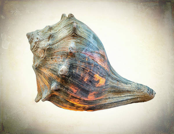 Photograph - Glowing Conch Shell by Gary Slawsky