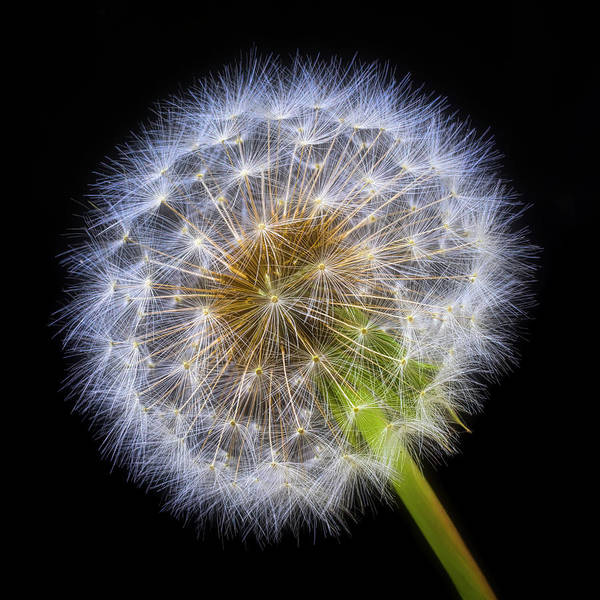 Dandelion Puff Photograph - Glowing Dandelion by Garry Gay