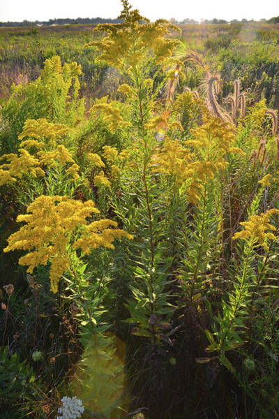 Photograph - Glowing Goldenrod In Kishwaukee Headwaters by Ray Mathis