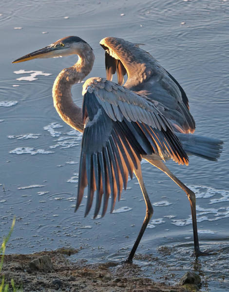 Photograph - Glowing In The Sun - Heron by Mike Covington