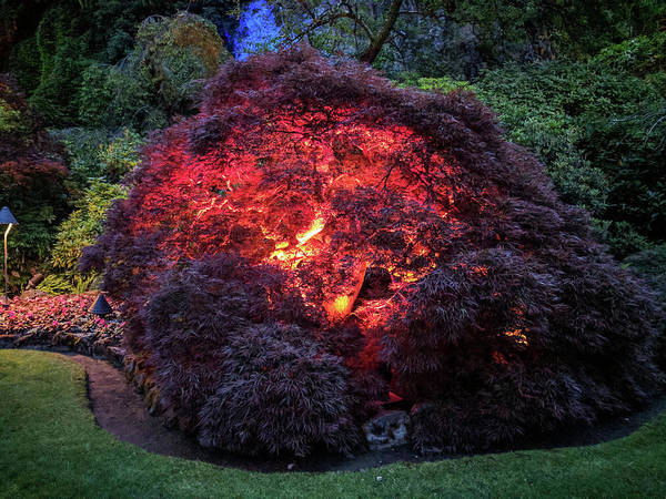 Photograph - Glowing Japanese Maple Ball At Dusk by Michael Bessler