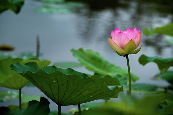 Photograph - Glowing Lotus Lily by Dennis Dame
