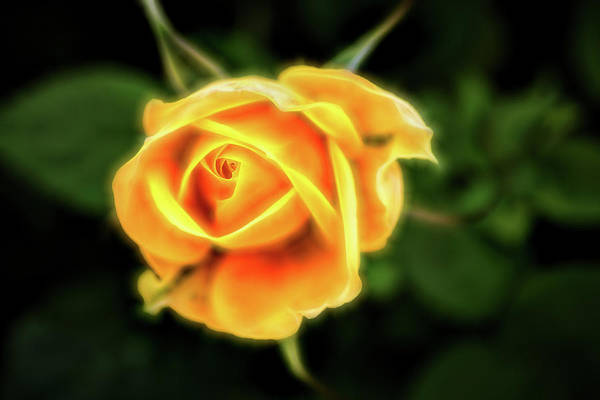 Photograph - Glowing Miniature Rose by Don Johnson