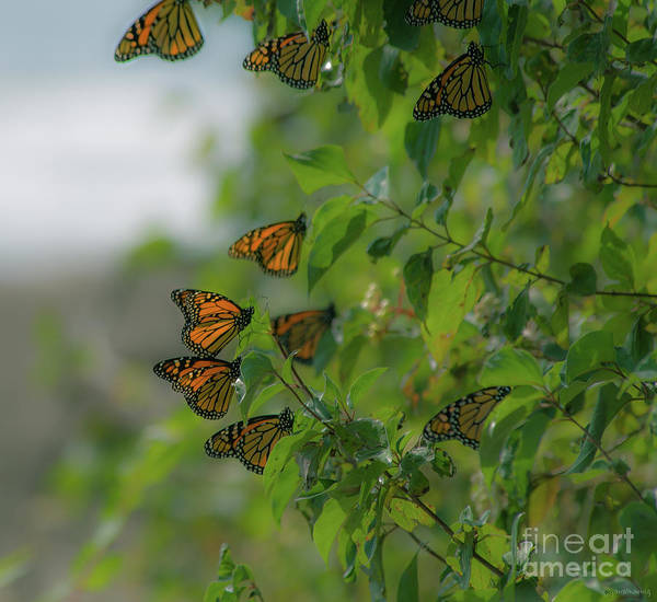 Southern Ontario Photograph - Glowing Monarchs by Janal Koenig