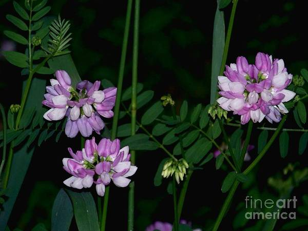 Photograph - Glowing Vetch by Charles Robinson