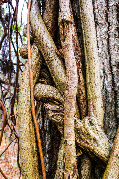 Photograph - Gnarled by Stacey Rosebrock