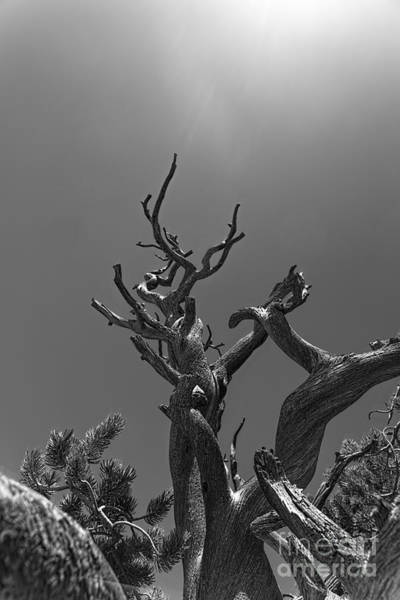 Photograph - Gnarled Tree Reaching For The Sky by Dan Friend