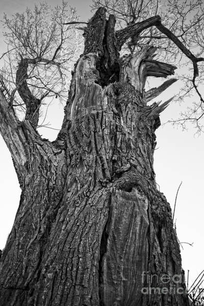 Photograph - Gnarly Old Tree by Edward Fielding