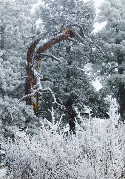 Photograph - Gnarly Tree In Snow On Bald Mountain by Steve Krull