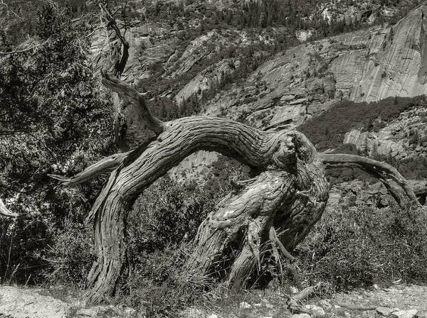 Photograph - Gnarly Tree by Michael Kirk