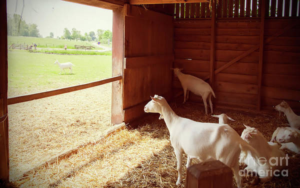 Photograph - Goals In Barn by Ariadna De Raadt