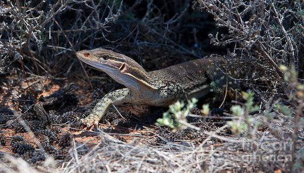 Lizard Photograph - Goanna by Bill  Robinson