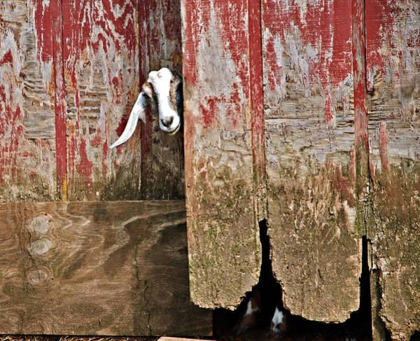 Goat And Old Barn Door Art Print