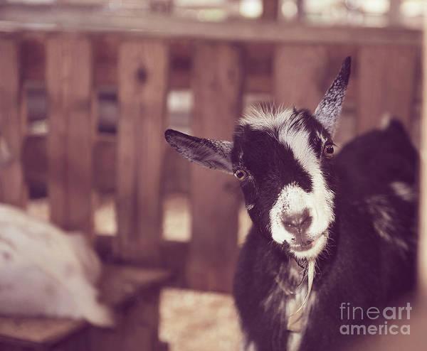 Milk Farm Restaurant Photograph - Goat Peek A Boo by Wendy Walker
