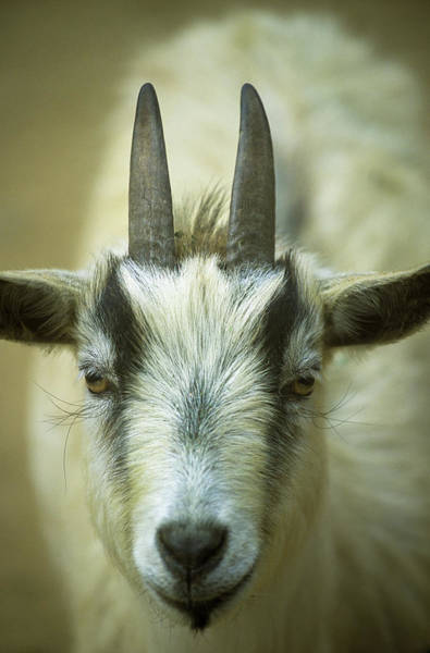 Photograph - Goat by Robert Potts