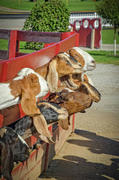 Milk Farm Restaurant Photograph - Goats At Young's Jersey Dairy, Yellow Springs, Ohio by Ina Kratzsch