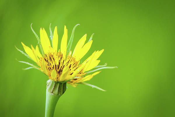 Photograph - Goat's Beard by Jeff Phillippi
