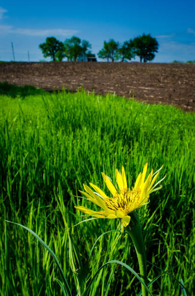 Photograph - Goat's Beard On Nelson Farm by Jeff Phillippi