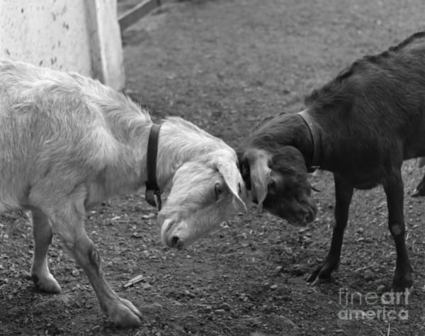Photograph - Goats Butting Heads by H Armstrong Roberts and ClassicStock