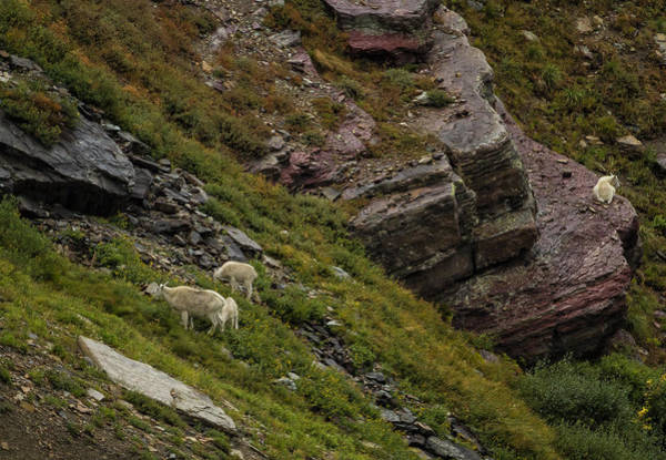 Photograph - Goats Grazing Below Grinnell Glacier Trail by Belinda Greb