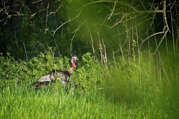 Photograph - Gobble Gobble by John Benedict